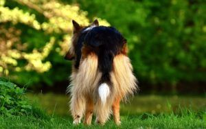 """5 Ways To Manage """"Poop Butt"""" In Long-Haired Dogs"""