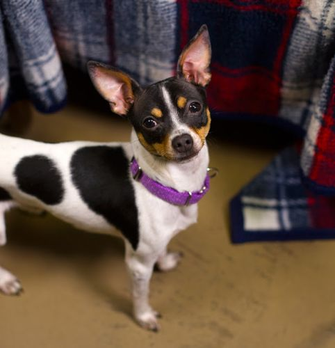 """ELTON"" fun rat terrier/chi mix"