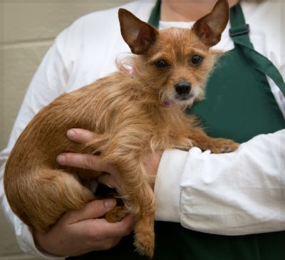 """EMILY"" shaggy little Norfolk terrier mix"