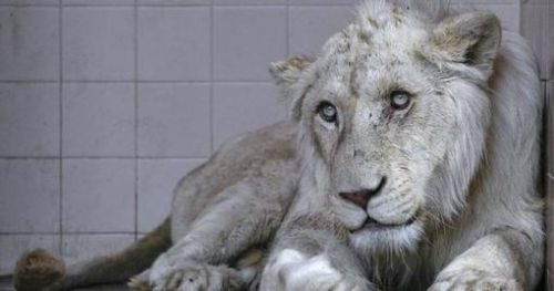 A lion for a pet: Inside the untamed market for wild animals in Pakistan