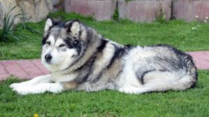 Choosing The Best Joint Supplement for a Alaskan Malamute