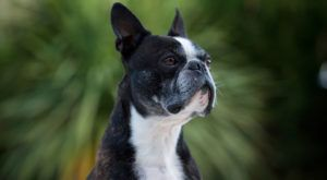 Improve Your Boston Terrier's Skin & Coat With This One Simple Hack