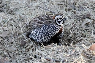 Birdlore: The Fleet-footed Quail of North America