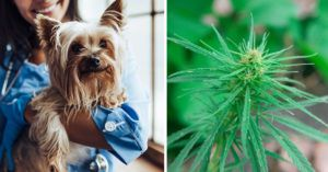 CBD for Dogs: What Clinical Trials or Scientific Studies Have Been Performed?