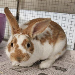 Is Adopting a Rabbit Right for You?