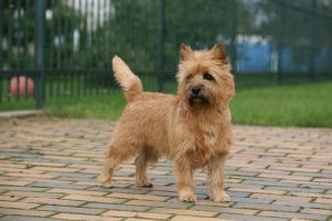 9 Small Breeds That Make Great Watchdogs