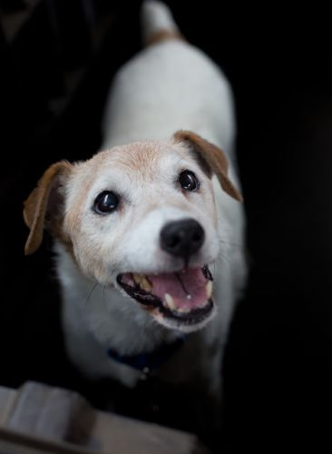 """AUGUSTUS FITZWILLIAM"" nice senior Jack Russell Terrier"