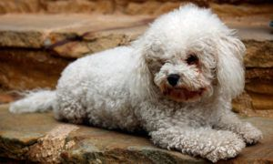3 Amazing Ways To Honor A Bichon Frise Who Passed Away