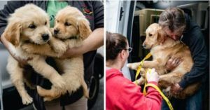 """28 Golden Retrievers Rescued From MA Breeder Were Living In """"Deplorable Conditions"""""""