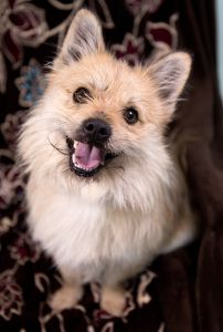 """LAMBERT"" cool Cairn Terrier mix"