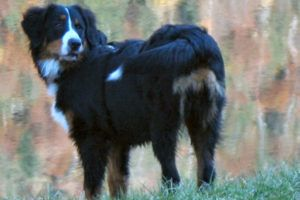 Giving This To Your Bernese Mountain Daily Could Help Alleviate Painful Skin Allergies