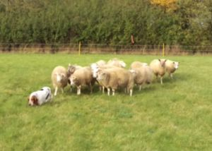 Charismatic Rescue Dog Meets A Flock Of Sheep And Reveals Her Secret Talent
