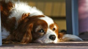 Choosing The Best Joint Supplement for a Cavalier