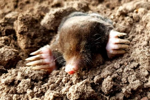 Moles Vs. Voles