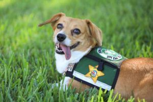 Sheriff's Office Hires Adorable Therapy Dog To Comfort Crime Victims
