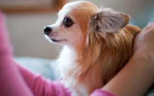 15 Fabulous Gifts For The Chihuahua Lover On Your List