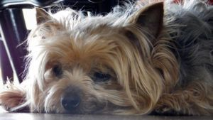 Choosing The Best Joint Supplement for a Yorkie