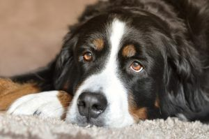 The Hidden Dangers Of Salmon Oil For Dogs