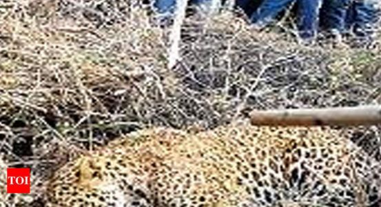 Leopards attack villagers, cattle in many districts | Jaipur News - Times of India