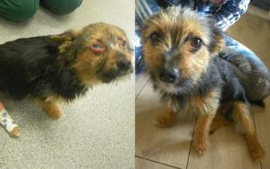 Tiny Pup Survives Being Drugged, Beaten, and Burned