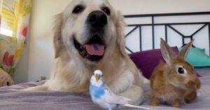 Golden Retriever Raises Baby Bunnies, Birds & More!
