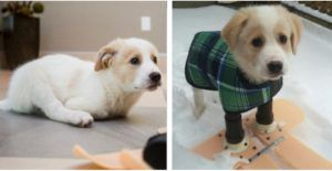 Two-Legged Rescue Puppy Will Walk Right Into Your Heart On His New Prosthetic Legs