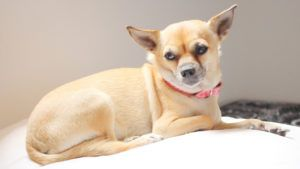 Choosing The Best Joint Supplement for a Chihuahua