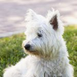 Terriers Test a Therapy for Lung Disease