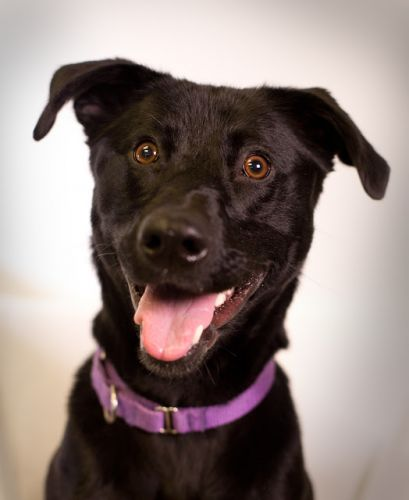 """MOWGLI"" young Lab/cattle dog mix likes to have fun!"