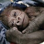 Franklin Park Zoo welcomes adorable baby gorilla