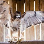 Understanding the Risks of Rodent Poisons to Birds of Prey