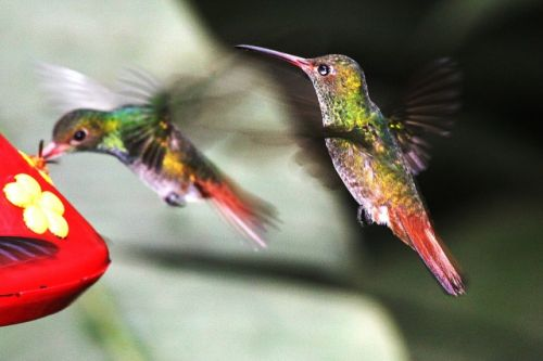 Hummingbirds and Nectar