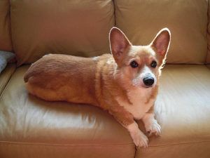 Top 3 Health Concerns For Your Corgi