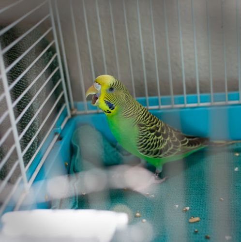 """MARTY McFLY baby parakeet.""FREEDOM McWING"" pidgeon"
