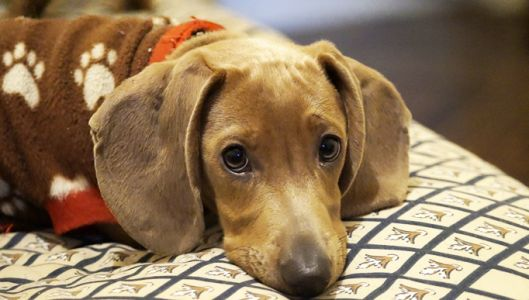 If You've Noticed Your Dachshund Is Slower to Get Up, Begin This Routine Immediately!