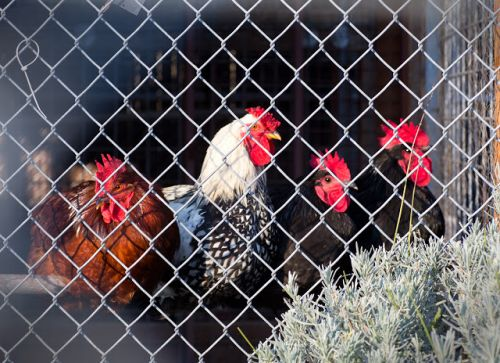 """ROOSTERS"" Many Many Roosters! Wyandotte.Barred Rock.Rhode Isl Red.Plymouth Rock.Australorp"