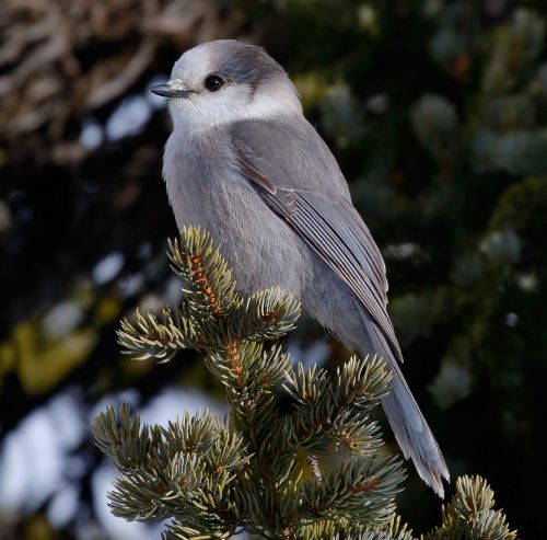 Gray Jays Get Their Old Name Back: Hello Canada Jay!