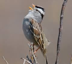 The White-crowned Sparrow Can Teach Us