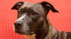 Improve Your American Staffordshire Terrier's Skin & Coat With This One Simple Hack