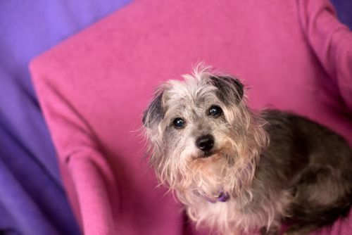"""SHERONA"" tenderhearted shy little Terrier mix"