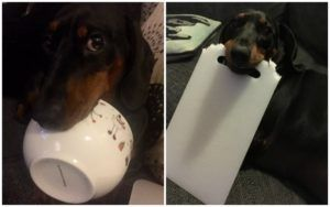 Dog Steals Stuff From Around The House & His Haul Is Hilarious