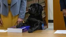 Labrador Sworn In At State Attorney's Office As Emotional Support Dog