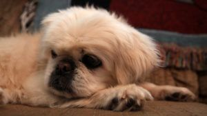 Choosing The Best Joint Supplement for a Pekingese