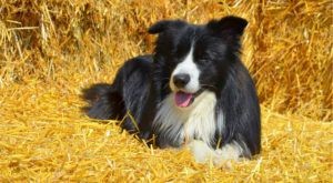 Improve Your Border Collie's Skin & Coat With This One Simple Hack