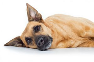 Alert: A New Strain Of Distemper Is On The Scene! How Can You Protect Your Dog?