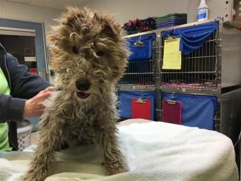 """""""ENERGIZER BUNNY"""" wirehaired Fox Terrier"""