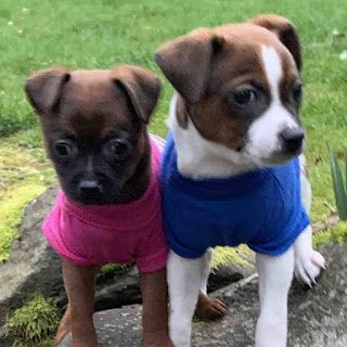 """COCO"" and ""MIGUEL"" Available Thursday - american shelter dog Puppies"
