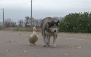 Unlikely Friends Max And Quackers Bring Joy To A Small Town