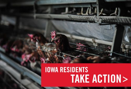 Iowa: Protect Egg-laying Hens in Iowa
