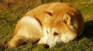 Improve Your Shiba Inu's Skin & Coat With This One Simple Hack